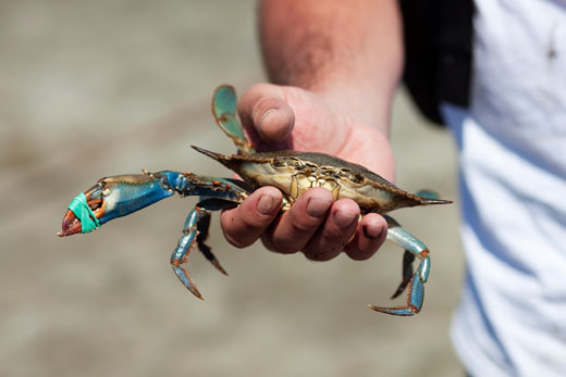 Crab-520