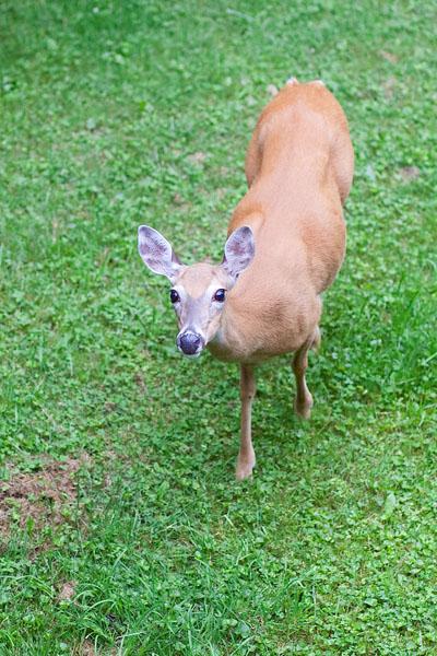 Deer-400