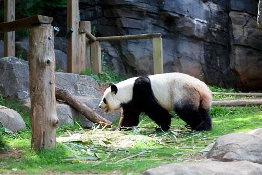 Panda1-520