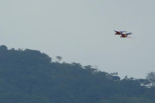 Macaws-500